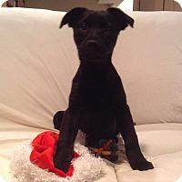 Adopt A Pet :: Olivia - Randolph, NJ