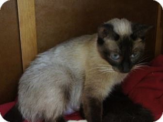Siamese Cat for adoption in Libby, Montana - Mia Ling