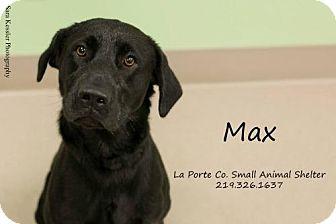 Labrador Retriever Dog for adoption in La Porte, Indiana - Max
