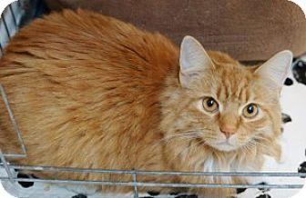 Domestic Longhair Cat for adoption in Medford, Massachusetts - Mittens