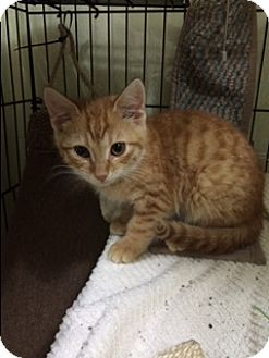 American Shorthair Kitten for adoption in Forest Hills, New York - Jak