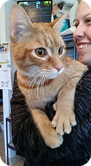 Domestic Shorthair Cat for adoption in Hanna City, Illinois - Ginger