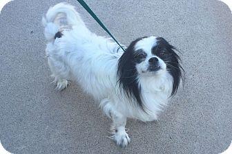 Japanese Chin Mix Dog for adoption in Mesa, Arizona - CALVIN 3 YR JAPANESE CHIN