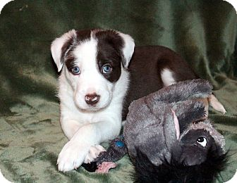 Border Collie Mix Puppy for adoption in West Milford, New Jersey - OLLIE-pending