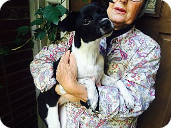 Rat Terrier Mix Puppy for adoption in Vancouver, British Columbia - Bopsy