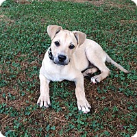 Adopt A Pet :: Holly - Knoxville, TN