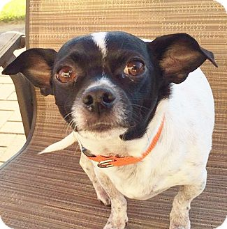 Chihuahua Mix Dog for adoption in Romeoville, Illinois - Dodger