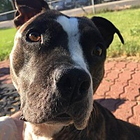 Staffordshire Bull Terrier Mix Dog for adoption in Evergreen, Colorado - Scout - courtesy listing