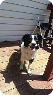 Border Collie Dog for adoption in Davie, Florida - Kona