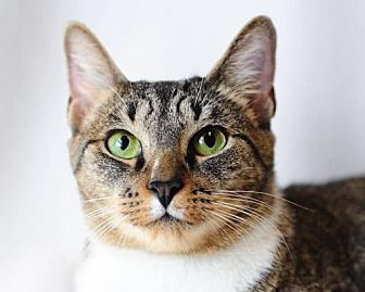 Domestic Shorthair Cat for adoption in Fort Lauderdale, Florida - Elizabeth Taylor