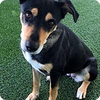 Adopt A Pet :: Nala,GermanShep/Rottie - Corona, CA