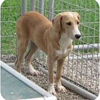 Redbone Coonhound/Labrador Retriever Mix Dog for adoption in Middletown, New York - Laura
