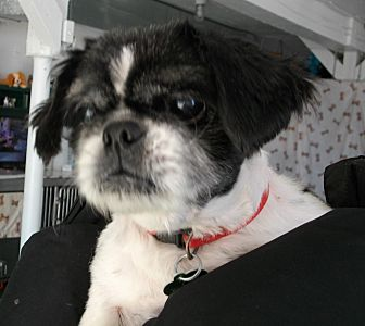 Shih Tzu Dog for adoption in Newell, Iowa - Murphy