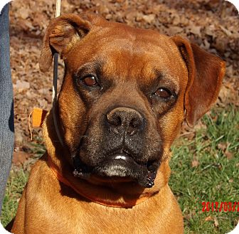 Boxer Dog for adoption in West Sand Lake, New York - Max (80 lb) PERFECT Family Pet