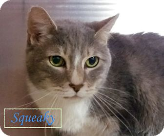 Domestic Shorthair Cat for adoption in El Cajon, California - Squeaky