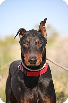 Doberman Pinscher Dog for adoption in Fillmore, California - Murdock
