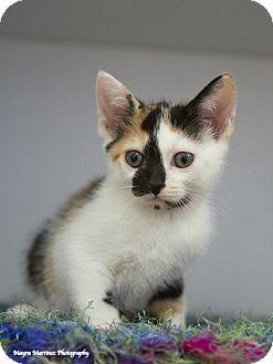 Domestic Shorthair Kitten for adoption in Nashville, Tennessee - June Bug
