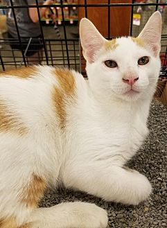 Domestic Shorthair Cat for adoption in Johnson City, Tennessee - Sampson