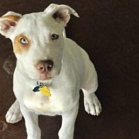 Adopt A Pet :: LEfty - San Antonio, TX