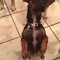 Adopt A Pet :: Ohana - ST LOUIS, MO