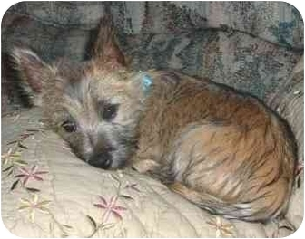 Cairn Terrier Puppy for adoption in Jersey City, New Jersey - Buttercup