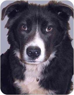 Border Collie/Labrador Retriever Mix Dog for adoption in Grass Valley, California - Buddy*URGENT*