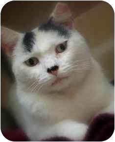 Domestic Shorthair Cat for adoption in Norwalk, Connecticut - Opie