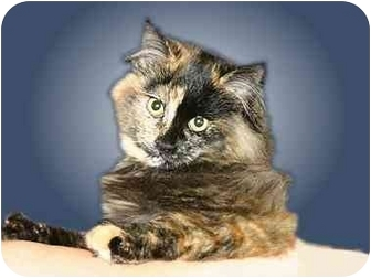 Domestic Mediumhair Cat for adoption in Montgomery, Illinois - Tori