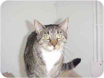 Domestic Shorthair Cat for adoption in Quincy, Massachusetts - Tammy