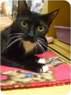 Domestic Shorthair Cat for adoption in Orlando, Florida - Fiona