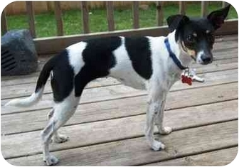 Rat Terrier Dog for adoption in Osseo, Minnesota - Lola