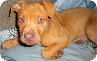 American Staffordshire Terrier/Mastiff Mix Puppy for adoption in Burbank, California - TIMMY