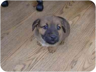 Australian Shepherd/Australian Cattle Dog Mix Puppy for adoption in Broomfield, Colorado - Audrey Hepburn