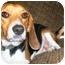 Photo 1 - Beagle Dog for adoption in Latrobe, Pennsylvania - Wayne