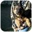 Photo 2 - Sheltie, Shetland Sheepdog/Miniature Pinscher Mix Puppy for adoption in Ozark, Alabama - Mojo