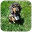 Photo 1 - Dachshund Dog for adoption in Crown Point, Indiana - Pepe