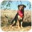 Photo 2 - Black and Tan Coonhound Mix Dog for adoption in Muldrow, Oklahoma - CAESAR II