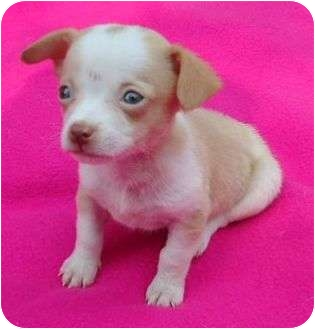 Chihuahua/Dachshund Mix Puppy for adoption in Staunton, Virginia - Sissy
