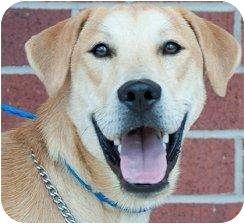 Labrador Retriever Mix Puppy for adoption in Houston, Texas - Dagwood