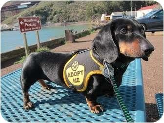 Dachshund Dog for adoption in San Jose, California - Martha