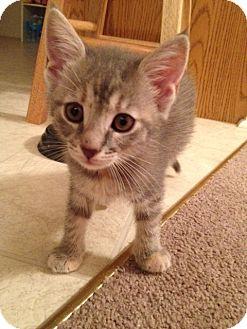 Domestic Shorthair Kitten for adoption in Carlisle, Pennsylvania - Tara