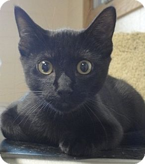 Domestic Shorthair Cat for adoption in Spruce Pine, North Carolina - Domino