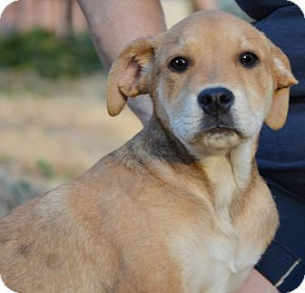 Labrador Retriever Mix Puppy for adoption in Staunton, Virginia - Iris