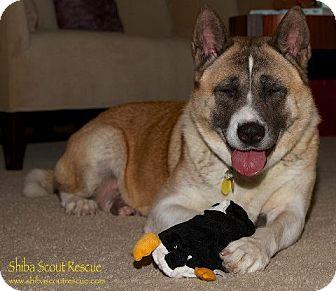 Akita Dog for adoption in Centennial, Colorado - Megumi
