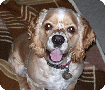 Cocker Spaniel Dog for adoption in Santa Barbara, California - Grumpy & Sebastian
