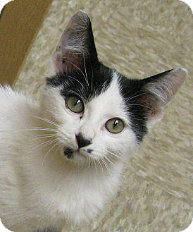 Domestic Shorthair Kitten for adoption in Tulsa, Oklahoma - Dakota