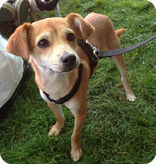 Italian Greyhound/Chihuahua Mix Puppy for adoption in Snohomish, Washington - Benji sweet and adorable!