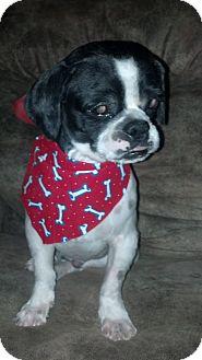 Shih Tzu Mix Dog for adoption in Las Vegas, Nevada - Dude