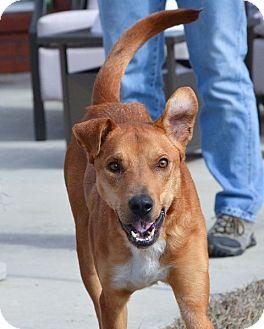 Vizsla/Hound (Unknown Type) Mix Dog for adoption in Nanuet, New York - Riley