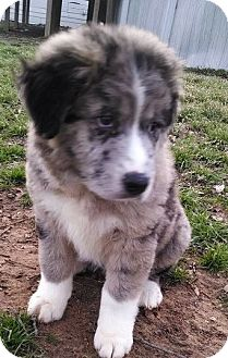 Great Pyrenees Mix Puppy for adoption in New Boston, New Hampshire - Anna